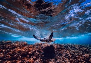 sea turtle swimming in clear blue water