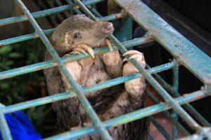 pangolin trafficking