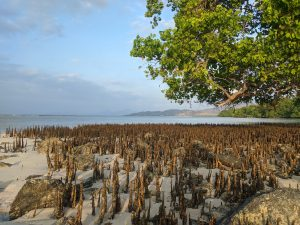 benefits of mangroves forest, indonesia