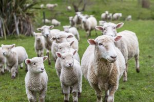 New Zealand to phase out live exports by sea